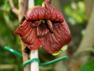 Blüte einer Paw Paw Pflanze