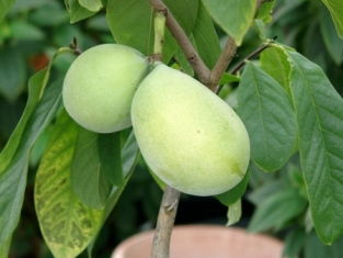 Paw Paw Früchte